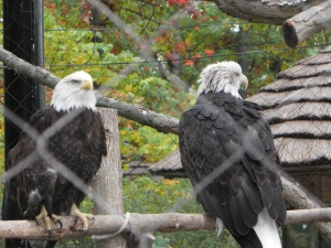 bald eagles at the zoo
