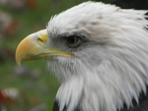 closeup of zoo eagle