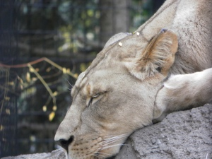 lioness sleeping at zoo