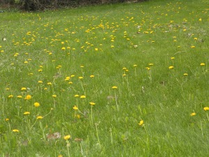 A lawn-full of Dandelions