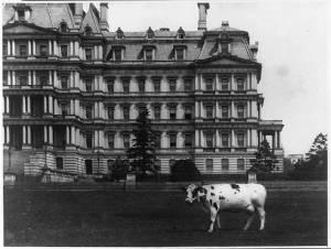 Taft's pet cow