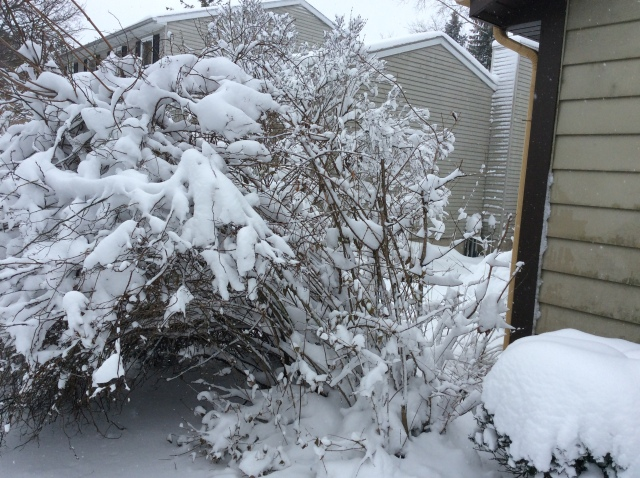 Another tree shrub tackled by heavy snow.